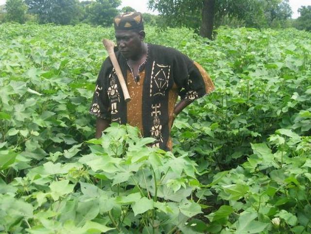 Bakary Togola dans son champ de coton